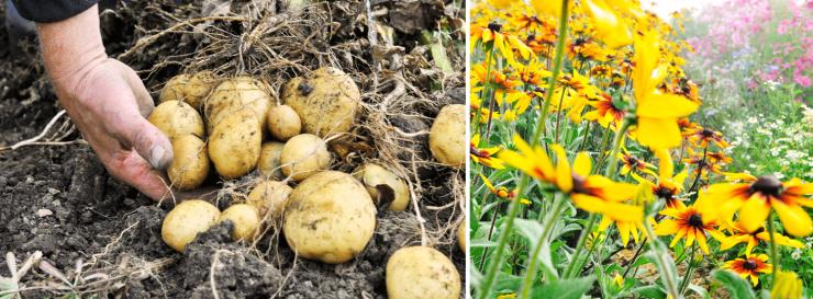 biolandhof-mack-kartoffelernte-blumen.png